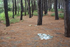 松树的针松树的树丛/地毯  免版税库存照片
