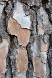 松树背景的层状吠声 库存照片