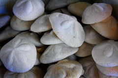 松的海洋饼干壳 免版税库存照片