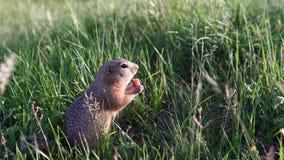 松的滑稽的地鼠在草和啃坐或者吃红萝卜 股票录像