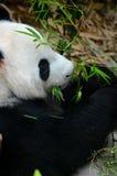 轻松的熊猫吃与在嘴的绿色叶子 免版税库存图片