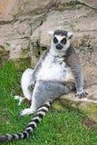 轻松的环纹尾的狐猴 库存照片