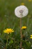 松的软的白色种子蒲公英 图库摄影