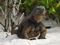 轻松的鬣鳞蜥 免版税图库摄影