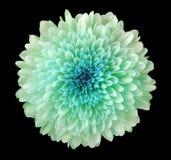 绿松石蓝色花菊花,庭院花,染黑与裁减路线的被隔绝的背景 特写镜头 没有影子 蓝色分 库存照片