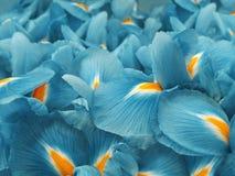 绿松石虹膜花 背景美丽的刀片花园 特写镜头 免版税库存图片