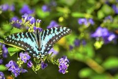 绿松石蝴蝶 库存照片