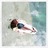 绿松石水,五颜六色的鸭子 免版税库存图片
