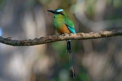 绿松石browed Motmot在哥斯达黎加 图库摄影