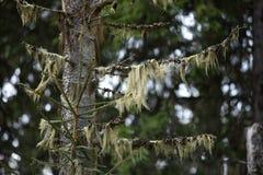 松萝barbata,居住在共生的真菌与 库存图片