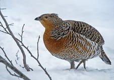 松鸡西部北欧产雷鸟类的urogallus 免版税库存图片
