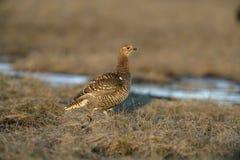 黑松鸡,北欧产雷鸟类tetrix, 库存照片