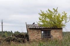 黑松鸡, Lyrurus tetrix 免版税图库摄影