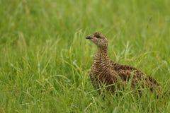 黑松鸡& x28; 北欧产雷鸟类tetrix& x29; 免版税图库摄影