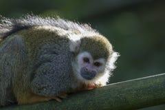 松鼠猴子画象 库存图片