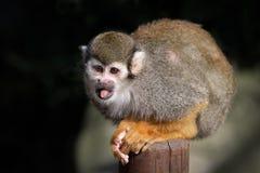 松鼠猴子的画象 免版税库存照片