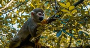 松鼠猴子 免版税图库摄影