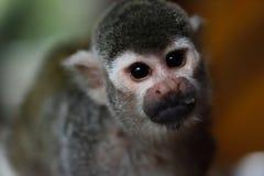松鼠猴属松鼠猴子画象  库存照片