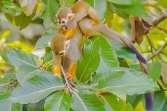 松鼠猴子或者松鼠猴属Sciurea在公开动物园 免版税图库摄影
