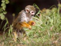 松鼠猴子食物的松鼠猴属狩猎! 库存照片
