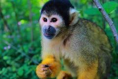 松鼠猴子 库存照片