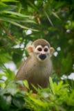 松鼠猴子 免版税库存图片