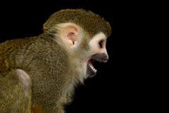 松鼠猴子 图库摄影