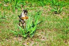 松鼠猴属寻找食物,阿马佐尼亚雨林的Sciureus猴子 免版税库存照片
