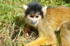松鼠猴属 库存图片