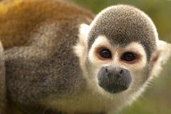 松鼠猴属Sciures 免版税库存图片