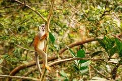 松鼠猴属Sciures 免版税图库摄影