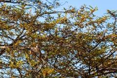 松鼠猴属sciureus猴子 免版税图库摄影