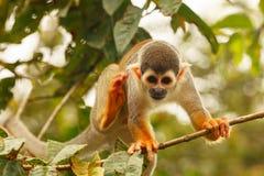 松鼠猴属Sciureus 免版税库存照片