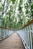 板条步行在桦树森林里 免版税库存图片