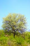 板簧结构树 免版税图库摄影