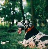 极大丹麦人的狗 库存图片