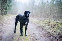 极大丹麦人的狗 免版税库存照片