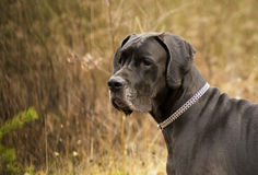 极大丹麦人的狗 免版税图库摄影
