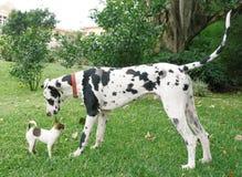 极大奇瓦瓦狗的丹麦人 图库摄影