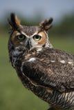 极大有角的猫头鹰 免版税库存图片