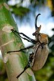 极大甲虫的大象 免版税库存图片