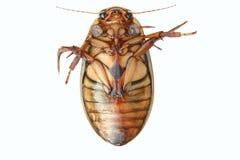 极大甲虫的潜水 免版税库存图片