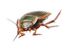 极大甲虫的潜水 库存照片