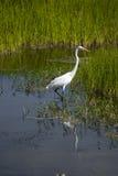 极大白鹭的沼泽地 库存图片