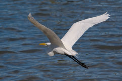 极大白鹭的飞行 免版税图库摄影