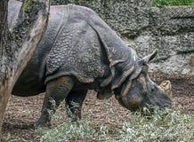 极大的印第安拉丁命名犀牛unicornis 库存图片