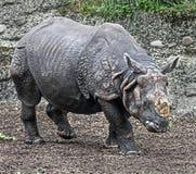 极大的印第安拉丁命名犀牛unicornis 免版税库存图片