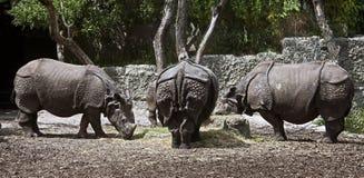 极大的印第安拉丁命名犀牛unicornis 免版税库存照片