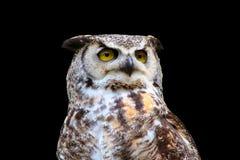 极大的有角的查出的猫头鹰 免版税库存照片