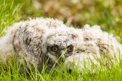 极大的有角的猫头鹰之子 免版税库存图片
